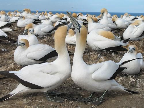 Gannets, New Zealand