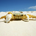 Crab by Ronski3