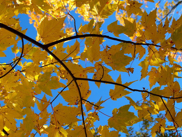 Yellow leaves, blue sky, White Rock