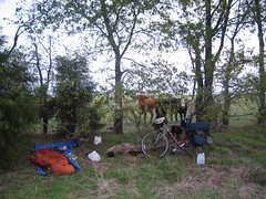 Camping with Longhorns