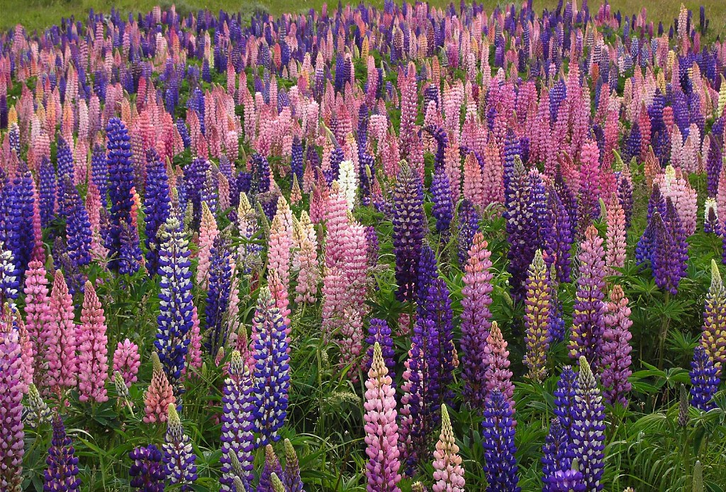 Wild Lupins, Chilean Patagonia