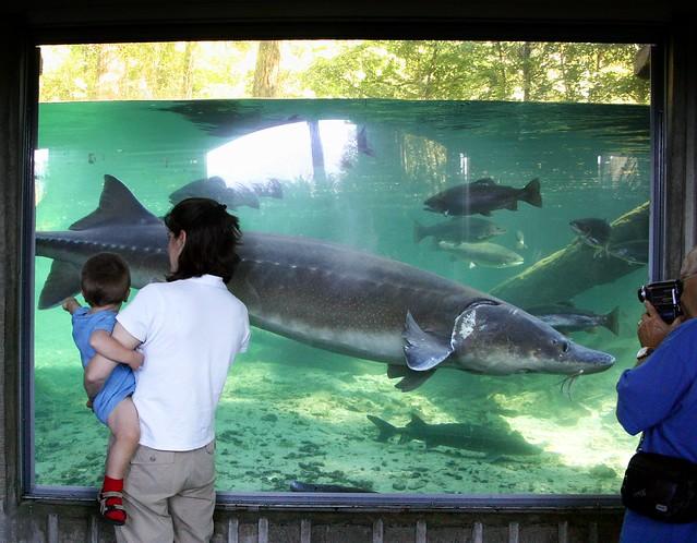 Big fish flickr photo sharing for Bonneville dam fish camera