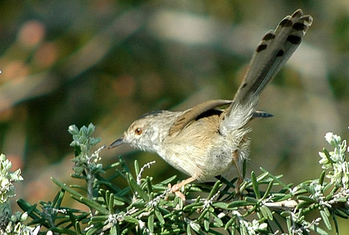 Graceful Warbler on Rosemary