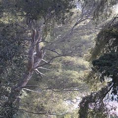 Rita Crane Photography: Aleppo Pine / trees / nature / beauty / French Riviera / Aleppo Pine at Beaulieu, Mediterranean Afternoon