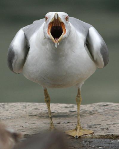 Gabbiano reale - Yellow-legged Gull (Larus michahellis) Weisskopfmöwe