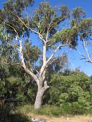Tree (tuart?)