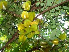 evergreen(0.0), shrub(0.0), calamondin(0.0), citrus(0.0), flower(0.0), yuzu(0.0), bitter orange(0.0), citron(0.0), starfruit(1.0), yellow(1.0), tree(1.0), flora(1.0), produce(1.0), fruit(1.0), food(1.0),
