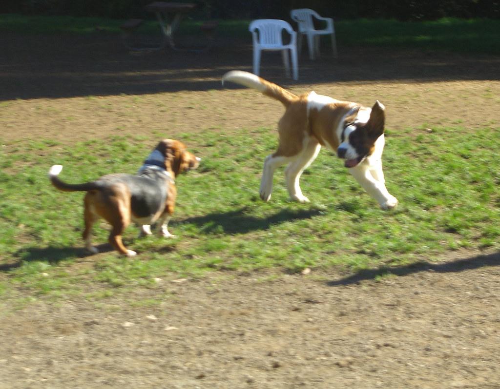St. Bernard puppy with a bassett hound