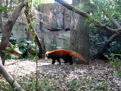 rainforest(0.0), wildlife(0.0), animal(1.0), zoo(1.0), red panda(1.0), mammal(1.0), fauna(1.0), forest(1.0), jungle(1.0),