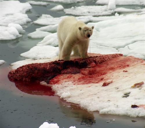 Do polar bears eat humans - photo#9