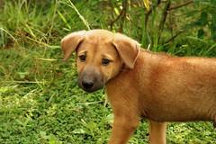 dog breed(1.0), labrador retriever(1.0), animal(1.0), puppy(1.0), dog(1.0), grass(1.0), street dog(1.0), mammal(1.0), black mouth cur(1.0),