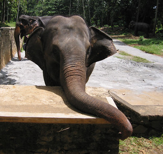 Elephant at Pinnawala, Sri Lanka