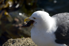 gull-with-sea-star