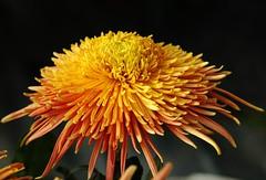 Chrysanthemum'06/07.