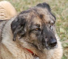 dog breed, animal, dog, leonberger, pet, estrela mountain dog, carnivoran,