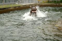 かば(Hippopotamus)
