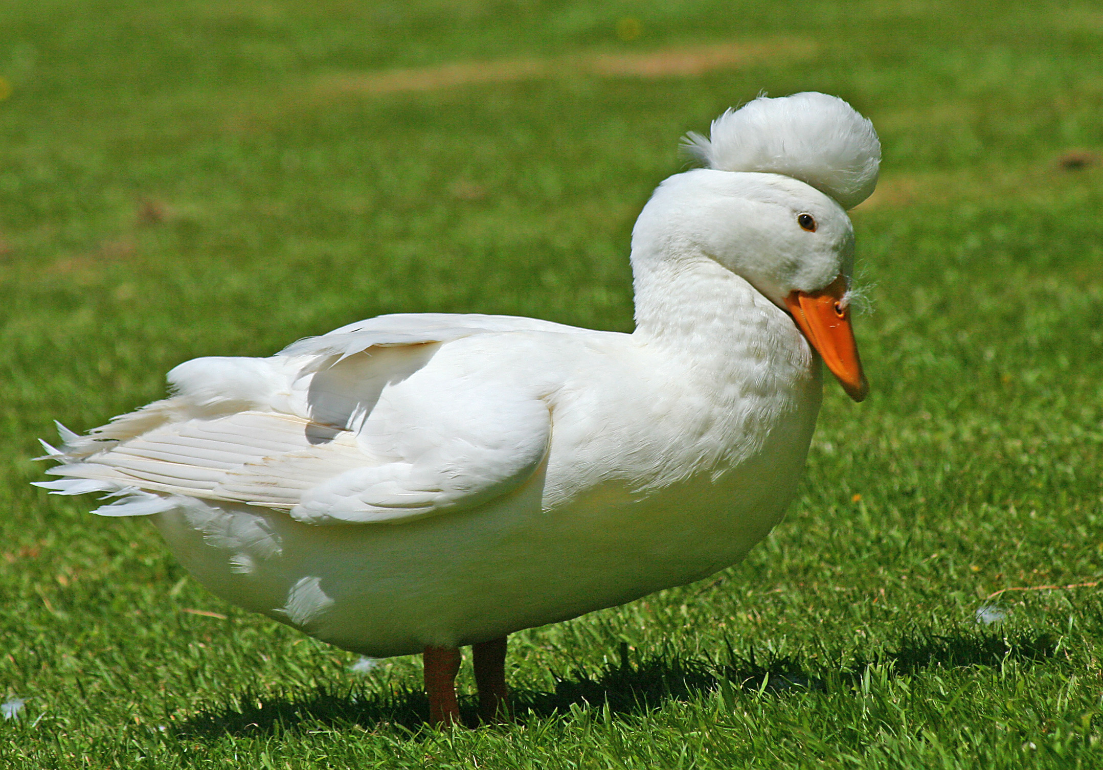 Understanding Backyard Duck Behavior  The Cape Coop