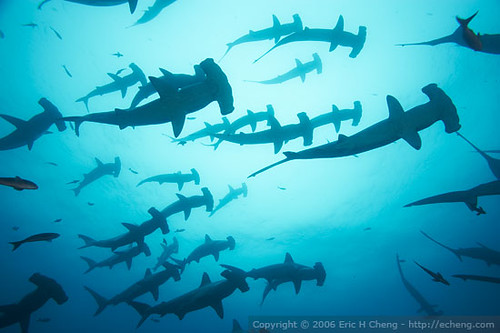 Scalloped hammerhead sharks at Darwin, Galapagos