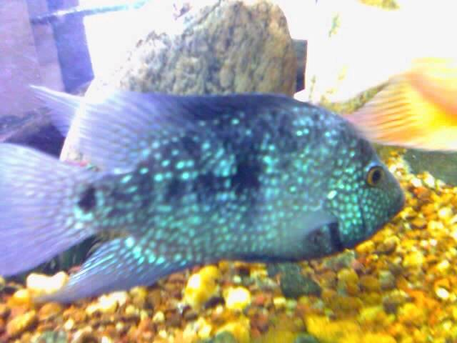 The freshwater fish 39 texas 39 or blue spotted cichlid in for Texas freshwater fish