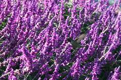 annual plant, shrub, flower, purple, plant, breckland thyme, lilac, lavender, flora, common sage,