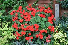 annual plant, shrub, flower, garden, plant, herb, flora, busy lizzie,