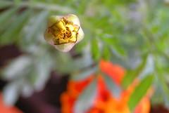 Budding marigold