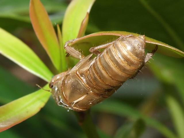 Cicada Shell | Flickr - Photo Sharing!