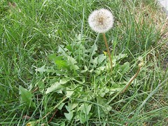 annual plant, prairie, dandelion, flower, grass, plant, flatweed, herb, wildflower, flora, produce,