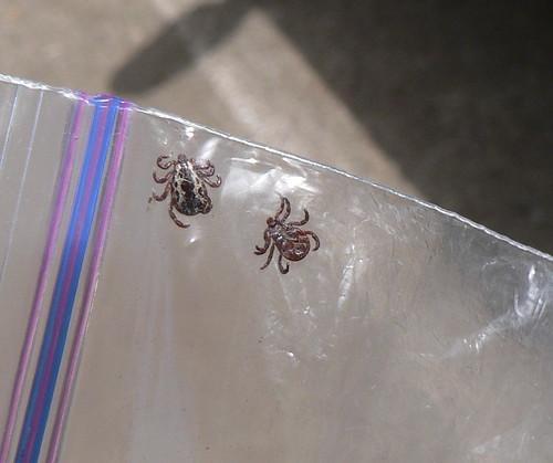 Chelicerata: Arachnida: Acari