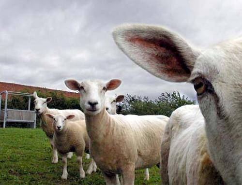Schafe schauen by bschaller06