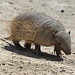 Armadillos - Photo (c) Vince Smith, some rights reserved (CC BY-NC-SA)
