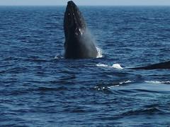 common bottlenose dolphin(0.0), short-beaked common dolphin(0.0), killer whale(0.0), animal(1.0), marine mammal(1.0), whale(1.0), sea(1.0), ocean(1.0), marine biology(1.0), humpback whale(1.0),