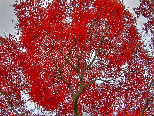 Photo:Momiji skies (HDR) By EugeniusD80