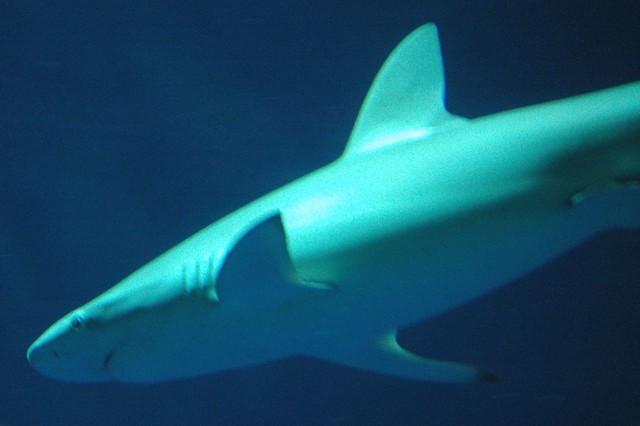 White black tip reef shark | Flickr - Photo Sharing!