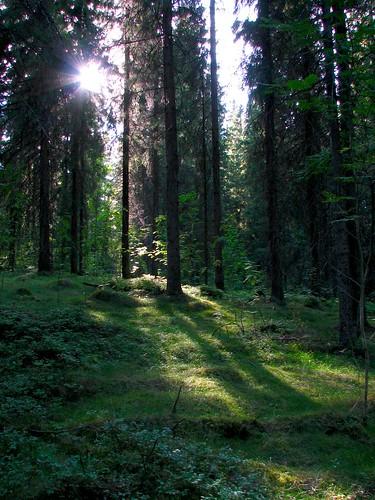 summer sun forest penttilänmäki
