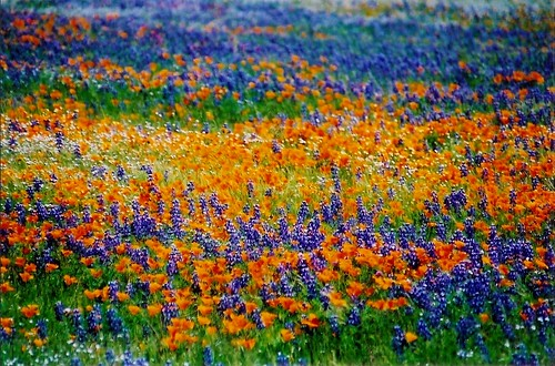 Tejon Ranch wildflowers