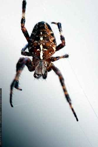 spider on white    mg 1418