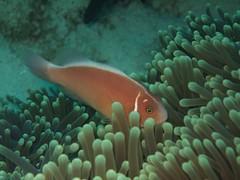 coral reef, animal, anemone fish, coral, fish, coral reef fish, organism, marine biology, stony coral, underwater, reef, sea anemone,
