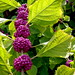 American Beautyberry - Photo (c) Todd J, some rights reserved (CC BY-NC-ND)