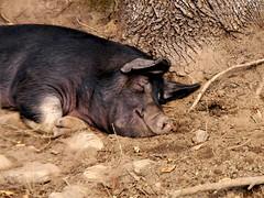 animal, wild boar, domestic pig, pig, fauna, pig-like mammal, wildlife,