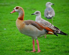 Egyptian Goose - Photo (c) Isidro Vila Verde, some rights reserved (CC BY-NC)