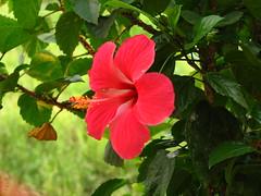 blossom(0.0), shrub(0.0), annual plant(1.0), flower(1.0), leaf(1.0), malvales(1.0), flora(1.0), chinese hibiscus(1.0), petal(1.0),