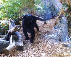 Jaguars at Loro Parque