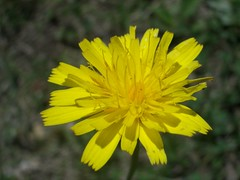annual plant, dandelion, flower, yellow, plant, flatweed, macro photography, herb, wildflower, flora, produce, petal,