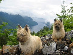 animal, dog, pet, mammal, norwich terrier, cairn terrier, australian terrier, west highland white terrier, terrier,