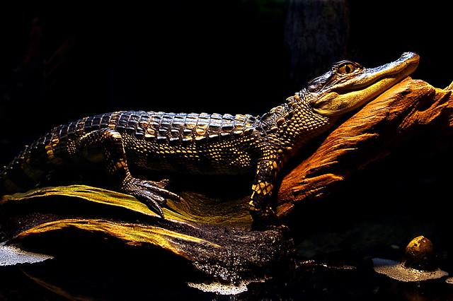 Basking-Gator