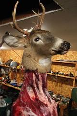 animal, deer, trophy hunting, reindeer,