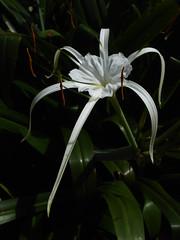 lily(0.0), hymenocallis(1.0), flower(1.0), leaf(1.0), hymenocallis littoralis(1.0), plant(1.0), macro photography(1.0), flora(1.0), green(1.0), plant stem(1.0),
