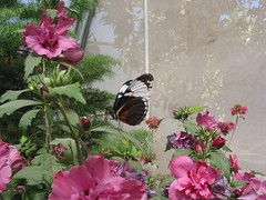Butterfly with ragged wings