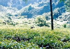 Tea Garden, Srimangal #2